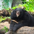 Malaysian sun bear — Stock Photo