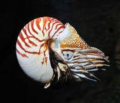 Nautilus swimming — Foto de Stock
