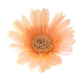 Peach gerbera flower — Stock Photo