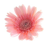 Pink gerbera flower — Stock Photo