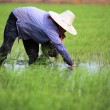 Stock Photo: Rice thai farmer