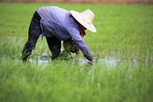 Rice thai farmer — Stock Photo