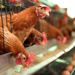 Chicken farm — Stock Photo #19509783
