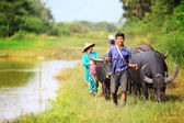 Asian female farmer taking care of a herd of water buffalos and cows — Stock Photo