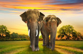 Elephants family on sunset — Stock Photo