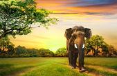 Elephant on sunset — Stock Photo