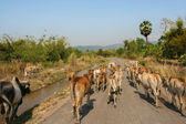 Cattle drive on a road during summer — Stockfoto