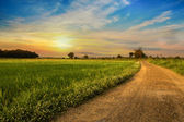 Country road in green rice field — Stock Photo