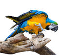 Macaw parrot isolated on white background — Stock Photo