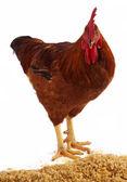 公鸡 — 图库照片