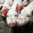 Small piglets — Stock Photo #42838359