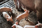 Sow with piglets — Stock Photo