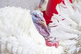 Turkey farm — Stock Photo