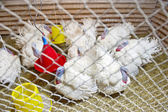 Turkeys in a cage — Stock Photo