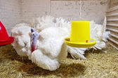 Turkeys on the farm — Stock Photo
