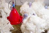 Turkeys on the farm — Stock Photo