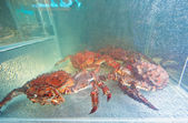King crabs live — Stock Photo