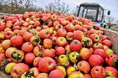 Apple harvest in the garden — Stock Photo