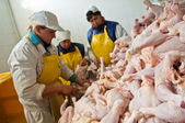 Processing factory chicken — Stock Photo