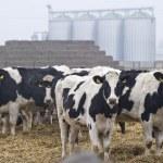 Herd of cows — Stock Photo #49268849