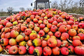 Apple harvest — Foto Stock