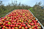 Apple harvest — Stockfoto