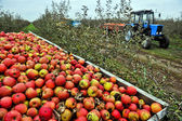 Harvest of apples — Foto Stock