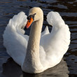 A Swan On A Lake In Cornwall — Foto de Stock