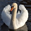 A Swan On A Lake In Cornwall - Stock Photo