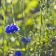 Wild growing cornflower (Centaurea cyanus) — Stock Photo