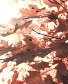 Red maple leafs — Foto Stock