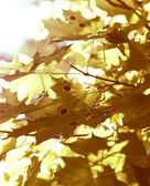 Yellow maple leafs — Stock Photo