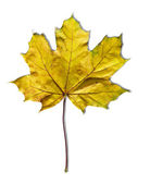 Yellow maple leaf — Foto Stock