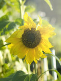 Sunflower bathing in sunlight — Stock Photo