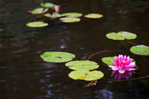 Pond with pink waterlily — Stock Photo