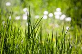Bakgrund av fjädra gräs — Stockfoto