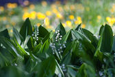 Lily of the valley background — Stock Photo
