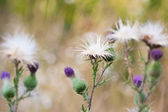 Thistle flowers group — Stock Photo