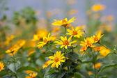 Many Yellow flowers — Stock Photo