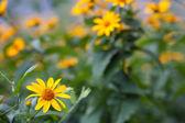 Muchas flores amarillas — Foto de Stock