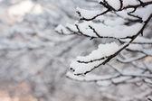 Frosty tree branch in winter — Stock Photo