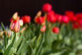 Individual unopened red tulip — Stock Photo