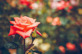 Rose flowers in the garden — Stock Photo