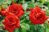 Red roses in garden after rain — Stock Photo