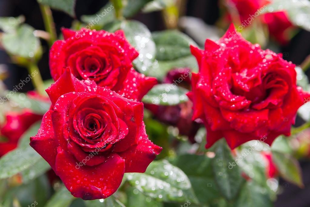 jardim rosas vermelhas:Baixar – Rosas vermelhas no jardim depois da chuva — Imagem de Stock