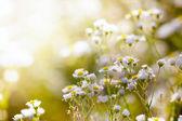 Fresh chamomile, spring background. — Stock Photo