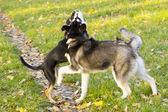 Siberian Husky beautiful puppy — Stock Photo