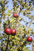 Red apples on apple tree — Stock Photo