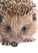 Cute wild hedgehog portrait — Stok fotoğraf