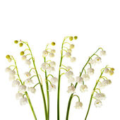 Lily of the valley flowers isolated — Stock Photo